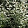 Pittosporum silver sheen