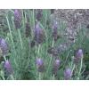 Lavandula dentata (French Lavender)