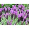 Lavandula stoechas (Spanish Lavender)