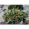 Pachystegia rufa (Malborough Rock Daisy)