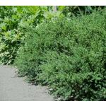 Podocarpus nivalis (Snow Totara)