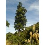 Dacrycarpus dacridioides (Kahikatea)