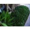Ophiopogon planiscapus (Mondo Grass)