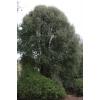 Hoheria angustifolia (Narrow-leaved Lace Bark)