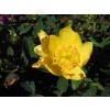 Hypericum hidcote gold (St John)